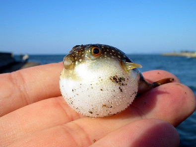 mini blowfish