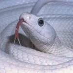 the snake rat that bit a penis