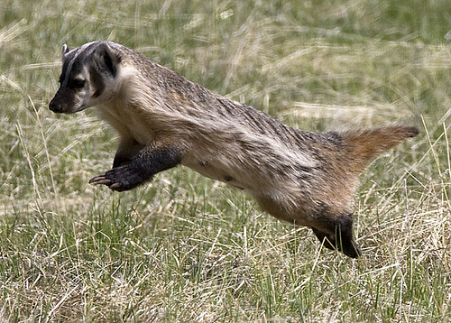 jumping badger