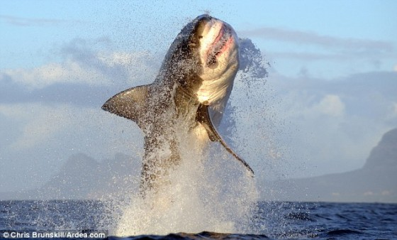 The great white shark shows its awesome power and acrobatic prowess as it breaches the water in False Bay, South Africa