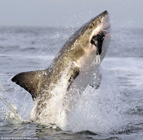 The seal has no idea what hit is as the shark explodes from the deep sea to snare its prey at the surface