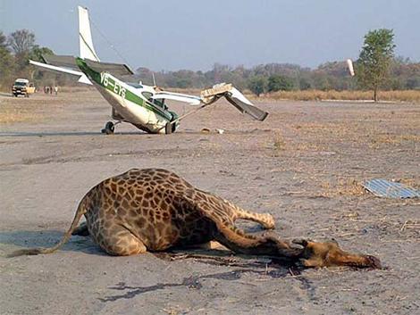 giraffe vs plane