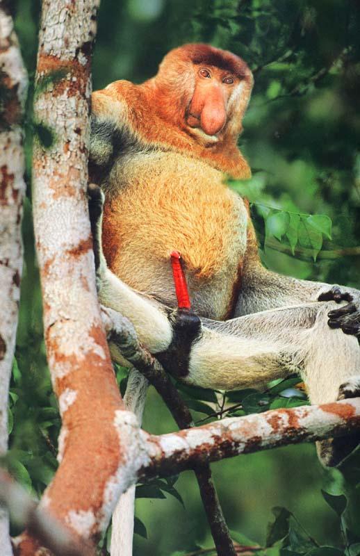proboscis monkey penis